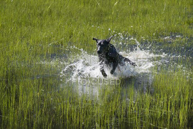 Schwarze Labrador Hund Begrenzungsrahmen durch flaches Wasser. — Stockfoto