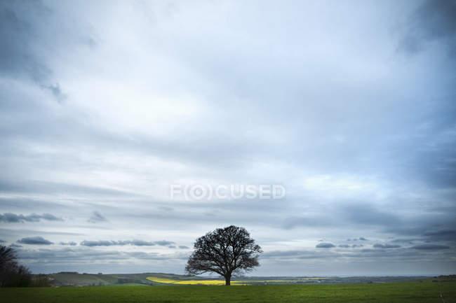 Quercia in fogliame contro il cielo nuvoloso sulla pista Ridgeway nel Berkshire, Inghilterra . — Foto stock