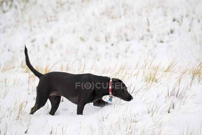 Schwarzer Labrador-Hund läuft und schnüffelt auf verschneitem Feld. — Stockfoto