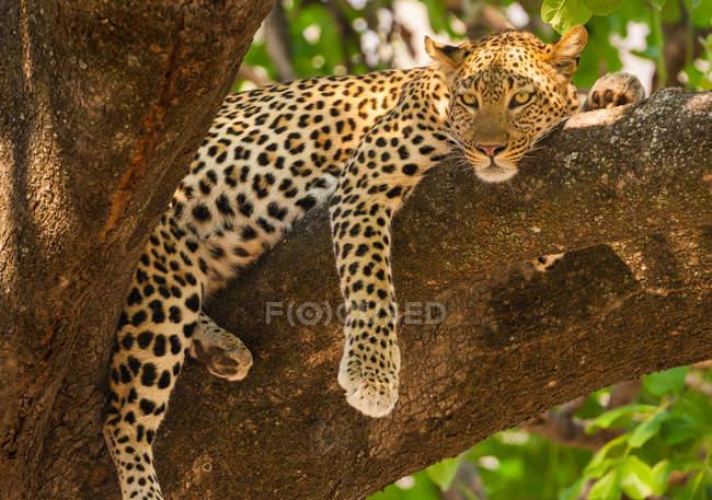 Леопард на дереве при Окаванго Дельта, Ботсвана. — стоковое фото