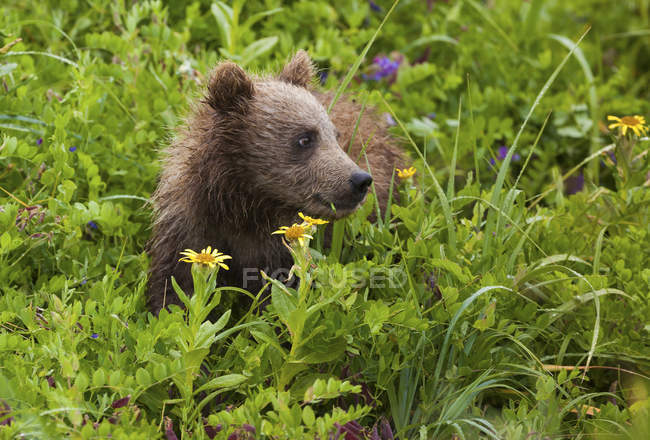 Бурый Медвежонок в цветущий луг, едят траву. — стоковое фото
