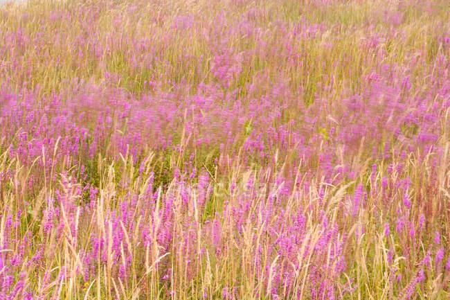 Campo del trébol púrpura buhos, marco completo. - foto de stock