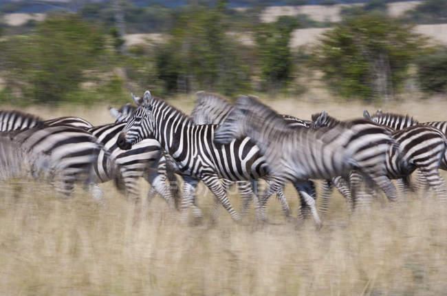 Plains zebras herd running on grassland of Kenya. — Stock Photo