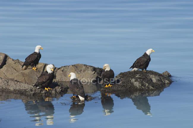 Groupe de pygargues à tête blanche perchés sur les rochers par l'eau bleue . — Photo de stock