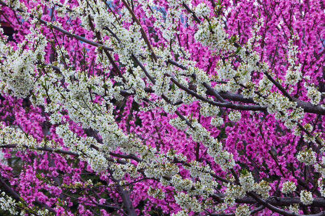 Springtime pink blossoms on shrub — Stock Photo