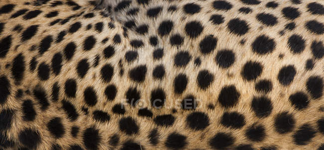 Primo piano delle macchie di ghepardo sulla pelle degli animali . — Foto stock