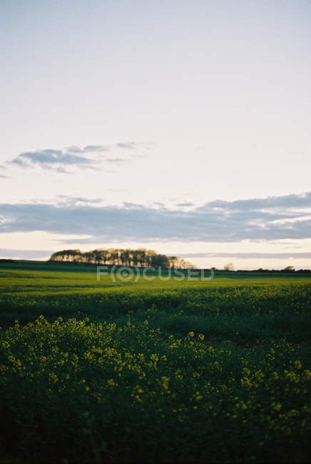 Field of flowering crops, wild flowers and trees on horizon. — Stock Photo