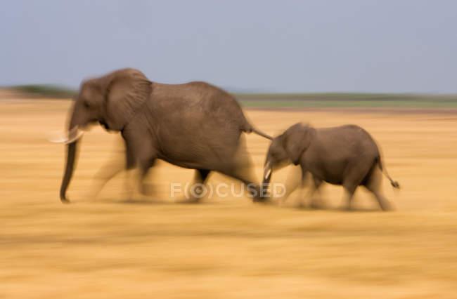Африканський слон і теля переміщення прерії в Ботсвані. — стокове фото