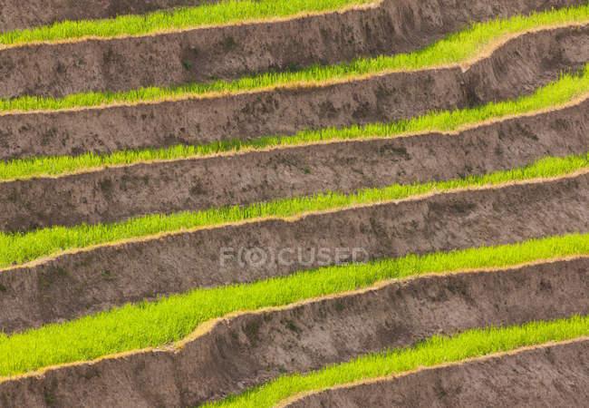 Культивуються терасами полів у долині Паро, Бутану — стокове фото