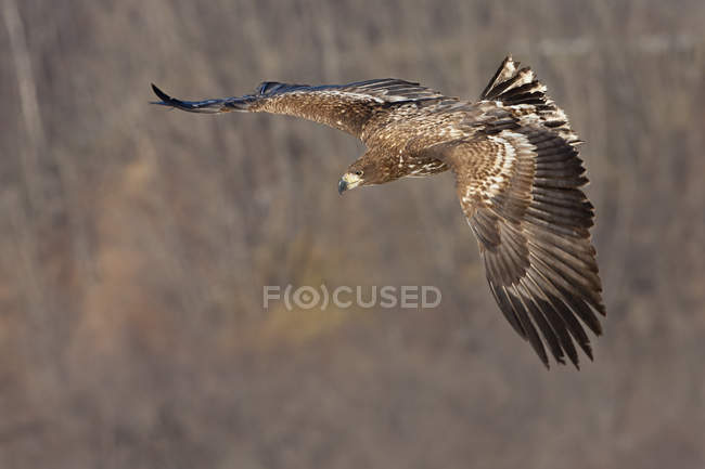 Общая охота канюк в полете. — стоковое фото