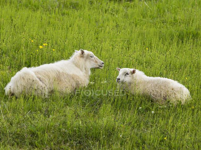 Два білих овець лежав у лука. — стокове фото