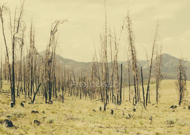 Incêndio árvores danificadas e floresta em Payette National Forest em Valley County, Indiana . — Fotografia de Stock