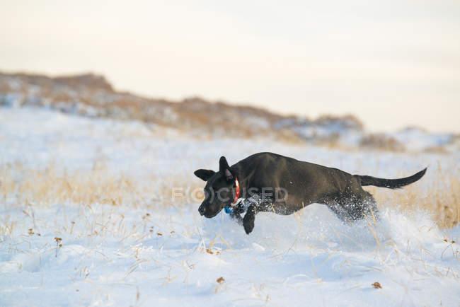 Schwarzer Labradorhund jagt in verschneite Wiese. — Stockfoto