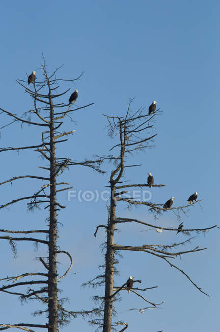 Group of bald eagles roosting on branches of pine trees. — Stock Photo