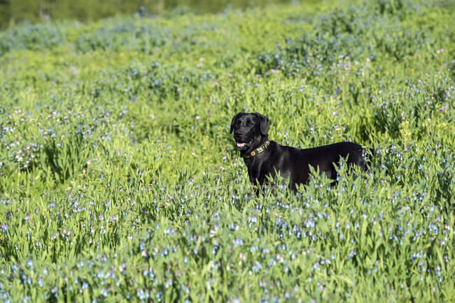 Черный лабрадор собаки стоя в Талль луговой. — стоковое фото