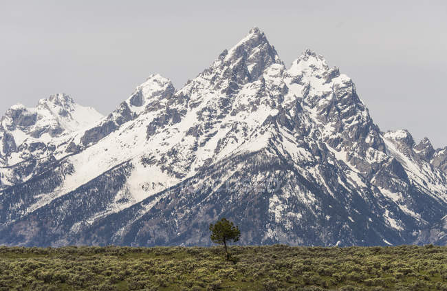 Lone tree and snow covered mountain range in Grand Teton national park. — Stock Photo