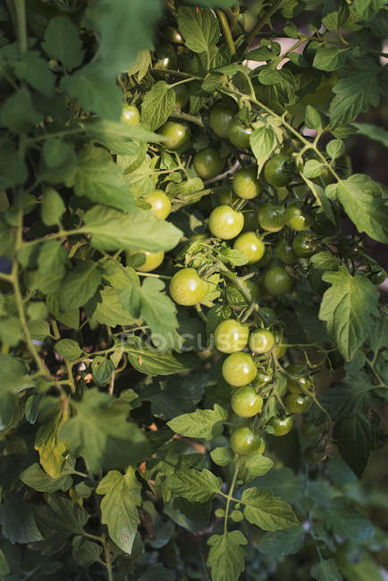Plants de tomates et des fruits verts de plus en plus en polytunnel dans la ferme. — Photo de stock