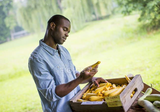 Человек, сортировка желтый кабачки на органические фермы. — стоковое фото