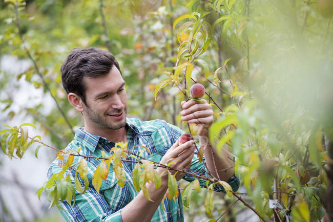 Mid adult man tending peach tree at organic plant nursery. — Stock Photo