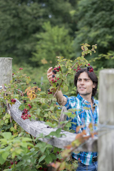Young man picking blackberries on organic farm. — Stock Photo