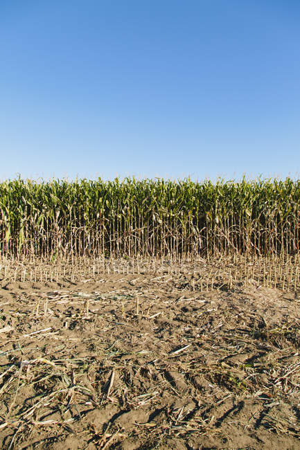 Field of corn with dried agricultural ground. — Stock Photo