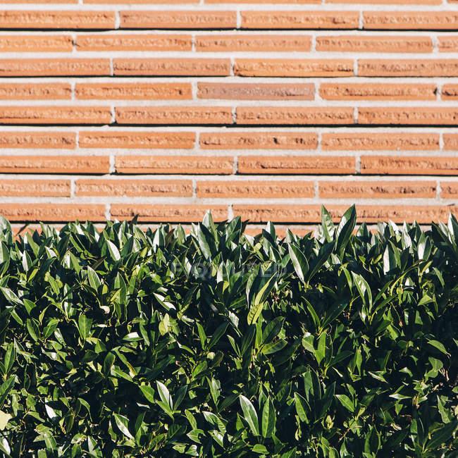 Seto de laurel con verde brillante deja delante de la pared de ladrillo - foto de stock