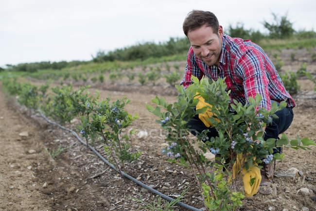 Mann begutachtet Blaubeersträucher auf Feld bei Bio-Obstgarten. — Stockfoto