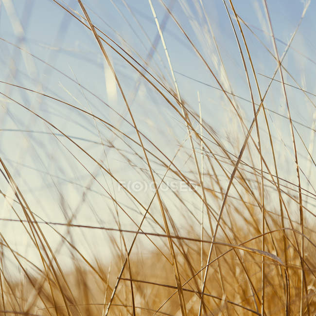 Close-up of windswept dune grass in natural meadow. — Stock Photo