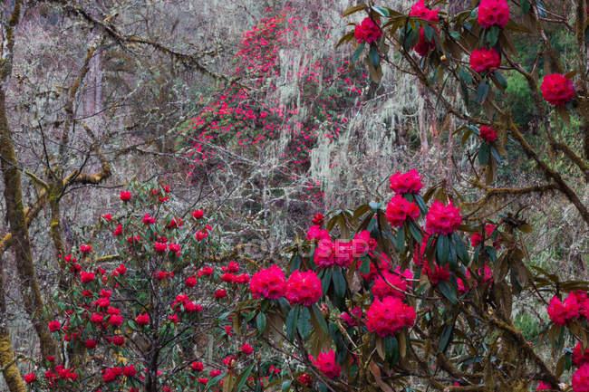 Rododendro em flor na floresta do vale de Paro, Butão. — Fotografia de Stock