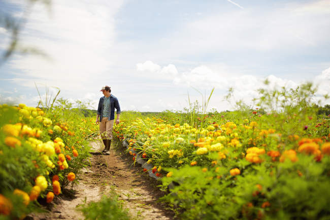 Male farmer working in field of yellow and orange organic flowers. — Stock Photo