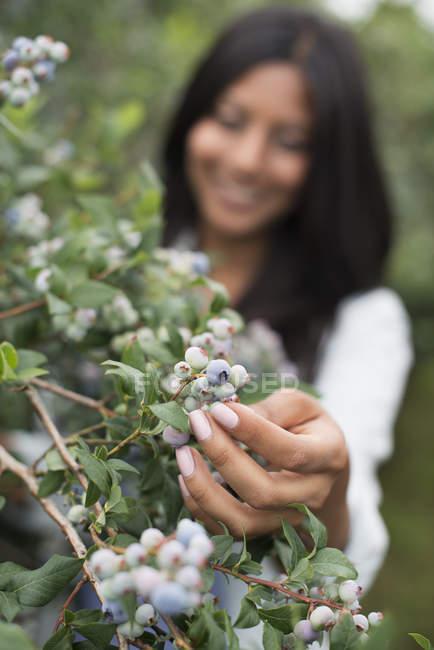 Woman picking fresh blueberries at organic fruit orchard. — Stock Photo