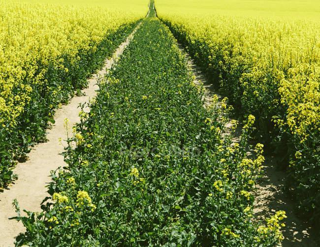 Straße durch Feld mit gelb blühenden Senfpflanzen. — Stockfoto