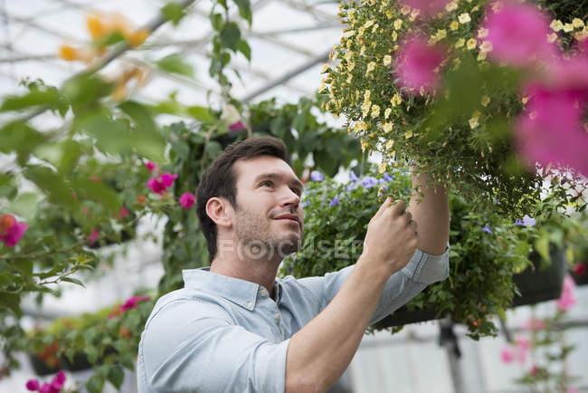 Mid adult man tending flowers at organic plant nursery. — Stock Photo