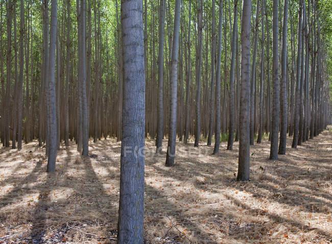 Плантация деревьев недалеко от Пендлтона в округе Уматилла, Орегон . — стоковое фото