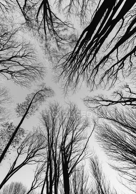 Low angle view of trees in winter with bare branches — Stock Photo