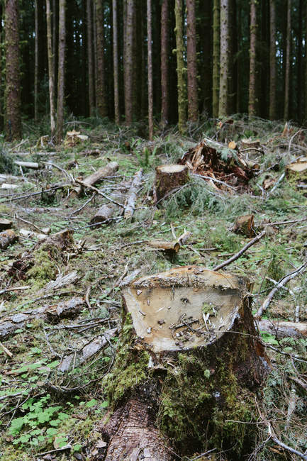 Logged Sitka Srpuce and Western Hemlock logs, Washington, USA — Stock Photo