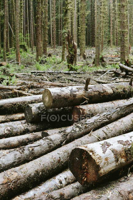 Freshly cut logs of Sitka spruce and western hemlock trees in rainforest. — Stock Photo
