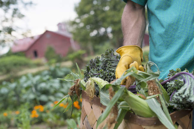 Man carrying basket of freshly harvested corn on the cob. — Stock Photo