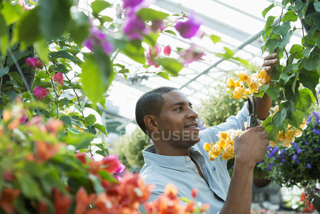 Man pruning branches with flowers in greenhouse of plant nursery. — Stock Photo