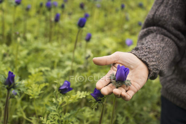 Male hand holding flower in organic plant nursery glasshouse. — Stock Photo