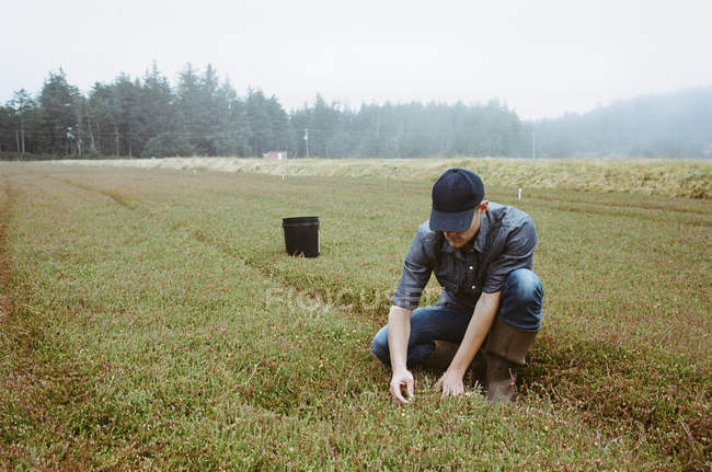 Young man harvesting crops on cranberry farm. — Stock Photo