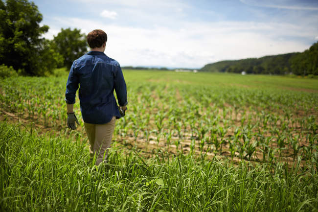 Rear view of farmer walking at organic corn farm field. — Stock Photo