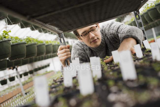 Comprobación de bandejas de plántulas en el carro en invernadero . - foto de stock