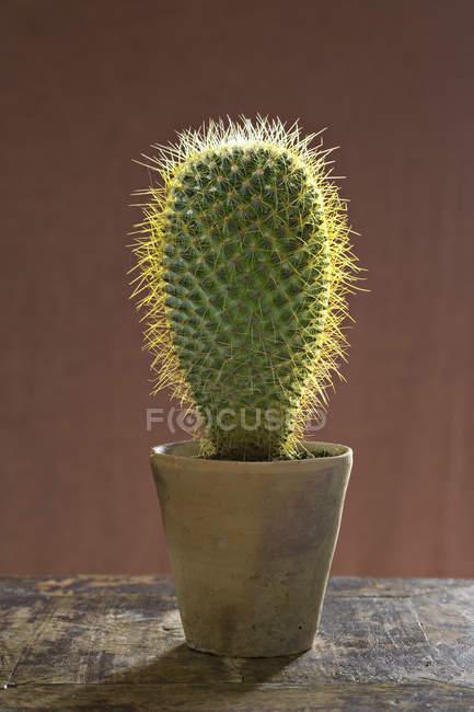 Large prickly succulent cactus plant in pot. — Stockfoto