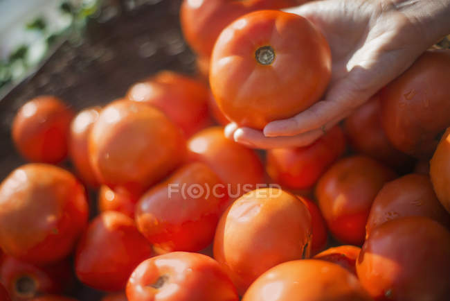 Close-up of person hand selecting ripe organic tomatoes from box. — Stock Photo