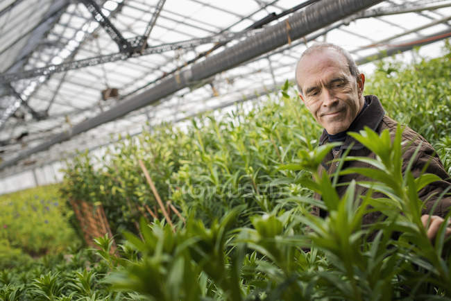 Mature man working in organic plant nursery glasshouse. — Stock Photo