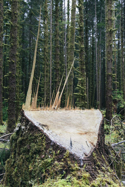 Logged Sitka Spruce tree in foreground in temperate rainforest, Washington, USA — Stock Photo