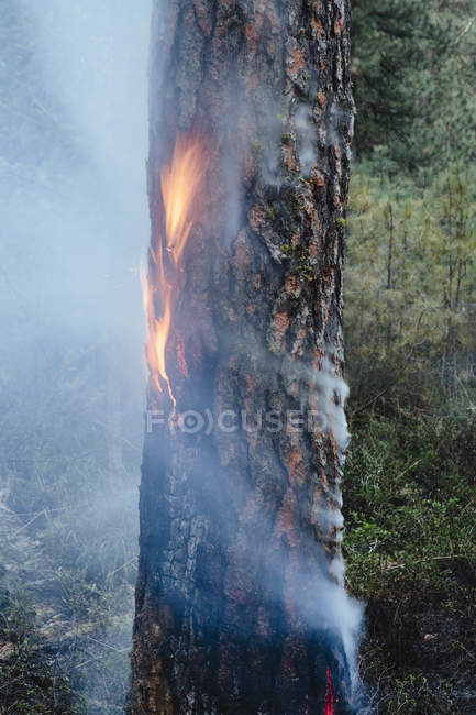 Controlled burning of coniferous tree in forest. — Stock Photo