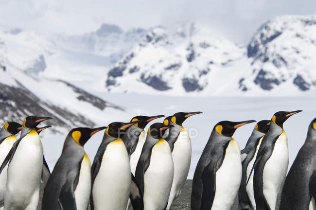 King penguins at shore on South Georgia island. — Stock Photo