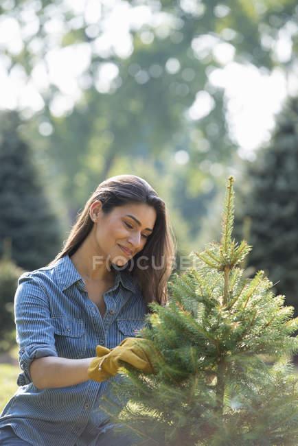 Woman pruning organically grown fir tree. — Stock Photo